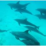 Bottlenose Dolphins, Matemwe Bay, Zanzibar, Tanzania, Africa
