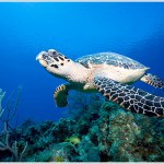 Hawksbill Turtle, Cayman Islands