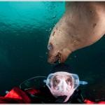 Scuba Diver and Sea Lion, British Columbia, Canada