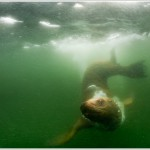 Steller's Sea Lion Underwater, Alaska