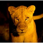 Lioness at Night, Sabi Sabi Reserve, South Africa