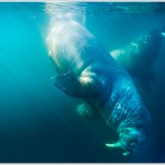 Underwater Walrus, Svalbard, Norway
