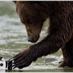 Grizzly Bear and Remote Camera, Katmai National Park, Alaska