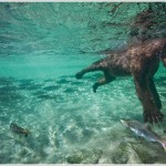 Underwater Brown Bear, Katmai National Park, Alaska
