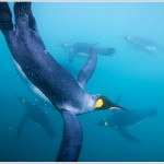King Penguins Swimming Underwater, South Georgia Island, Antarctica