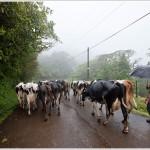 Dairy Farmer, Costa Rica