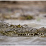 Nile Crocodile, Chobe National Park, Botswana