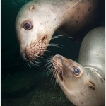 Steller's Sea Lion Underwater, British Columbia, Canada