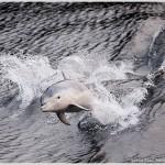 Bottlenose Dolphins, Doubtful Sound, South Island, New Zealand