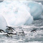 Chinstrap Penguins and Iceberg, Deception Island, Antarctica