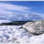 Weddell Seal, Half Moon Island, Antarctica
