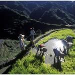 Rice Planting, Luzon Island, Philippines