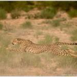 Cheetah Running in Kalahari Desert, Kgalagadi Transfrontier Park, South Africa