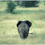 Elephant in Grass, Kruger National Park, South Africa