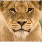 Lion in Kalahari Desert, Kgalagadi Transfrontier Park, South Africa