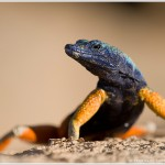 Augrabies Flat Lizard, Augrabies Falls National Park, South Africa