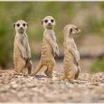 Meerkat Pups, Namibia