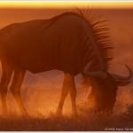 Blue Wildebeest, Etosha National Park, Namibia, Africa