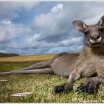 Eastern Gray Kangaroo, Australia