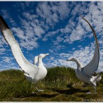 Wandering Albatross Courtship, South Georgia Island, Antarctica