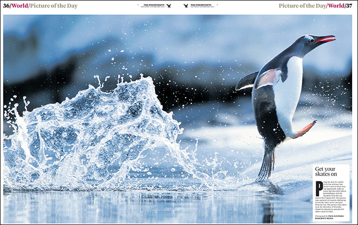 Leaping Penguin