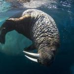 Underwater View of Walrus, Hudson Bay, Nunavut, Canada