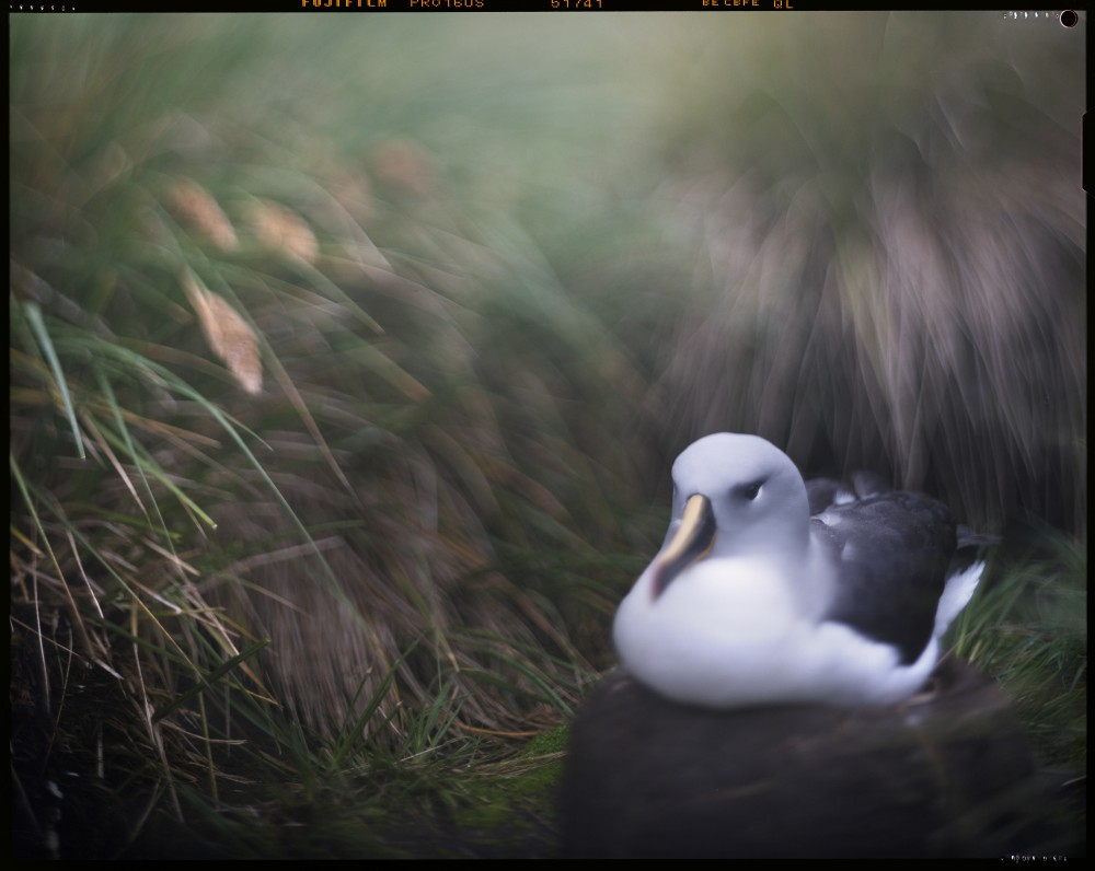 Albatross, Diego Ramirez Islands, Chile