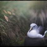 Albatross, Diego Ramirez Islands, Chile