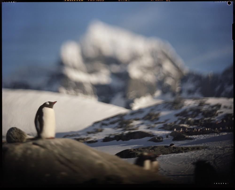 Gentoo Penguin, Wiencke Island, Antarctica