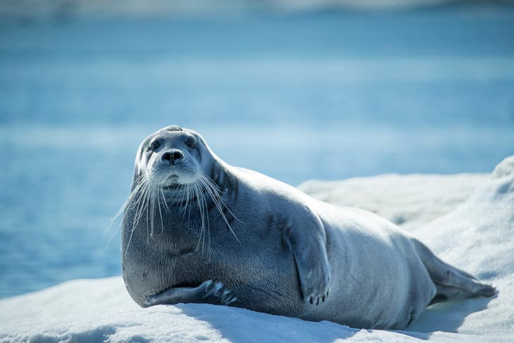 Bearded-Seal