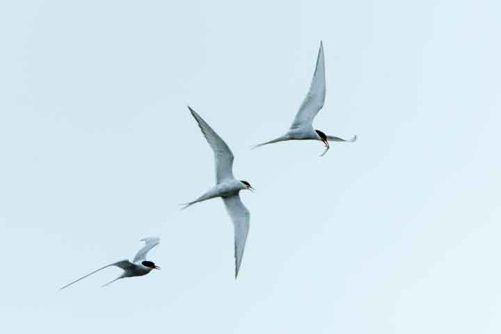 Feeding-Terns-2-LoRes